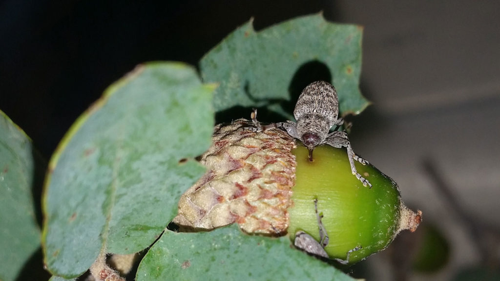 An acorn weevil drills into an acorn.