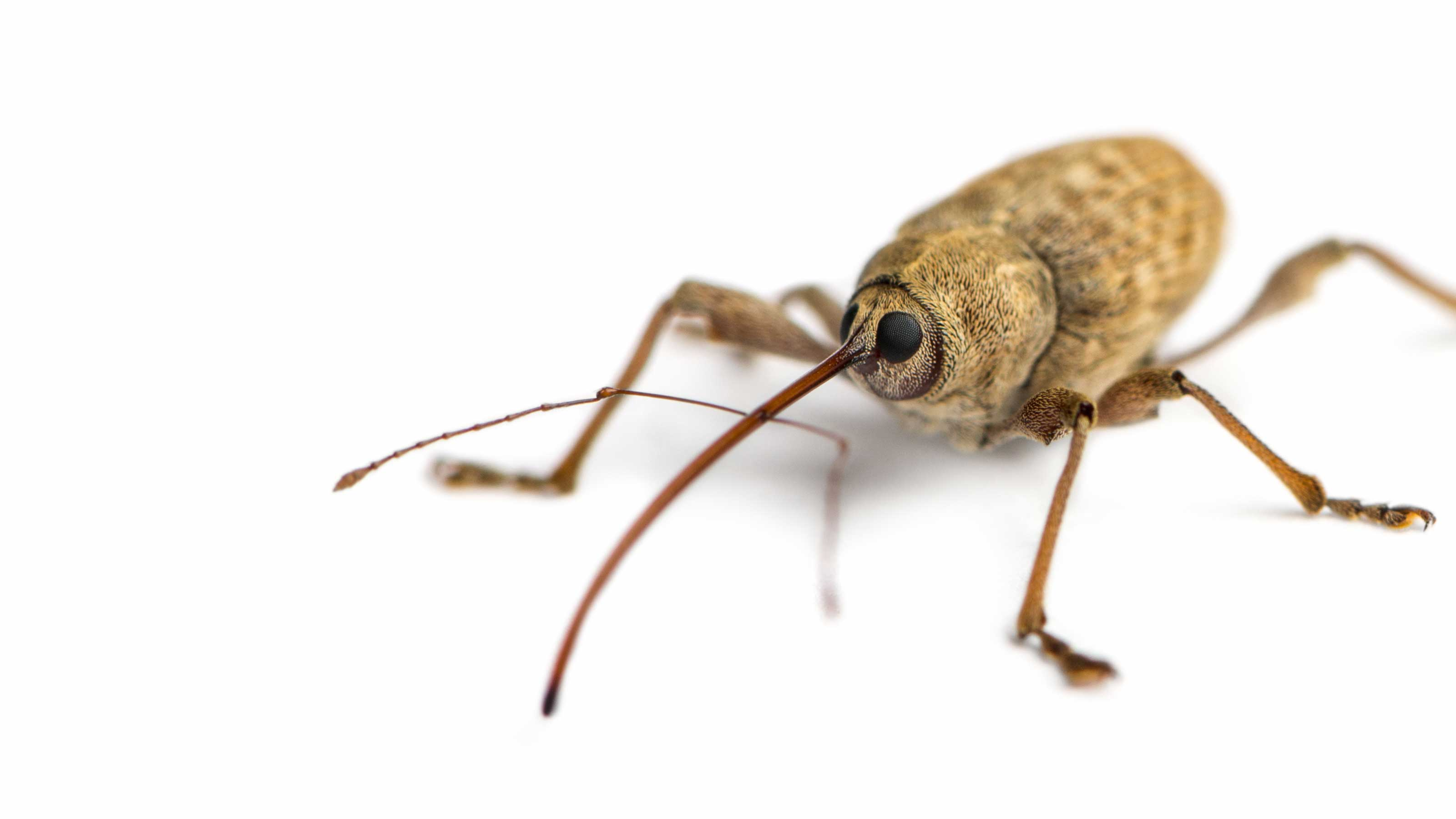 Stock image close up of a weevil