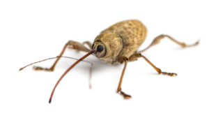 close up of an acorn weevil