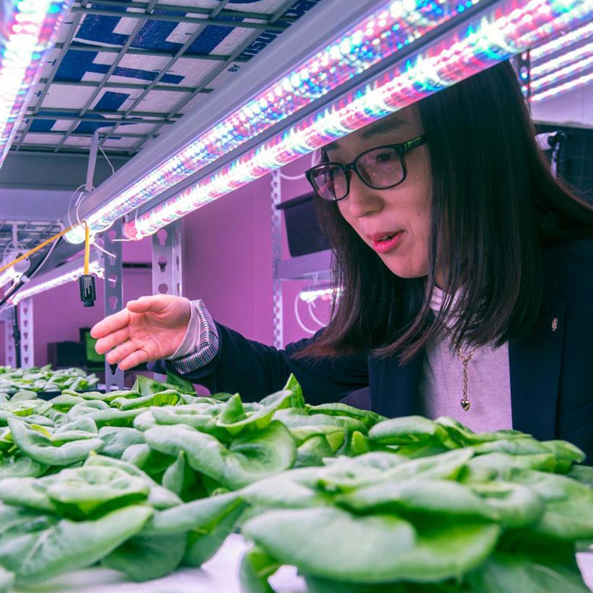 Assistant Professor Yujin Park checks the week-old butterhead lettuce plants set up in an indoor vertical farming system